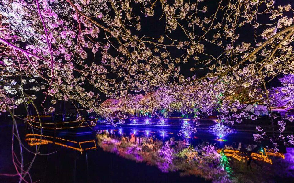 太湖鼋头渚樱花夜景2.jpg