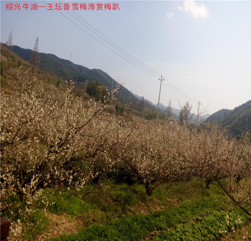 香雪梅海38.jpg
