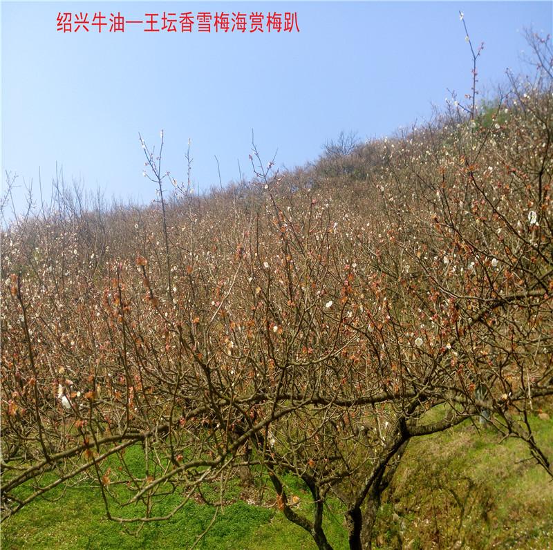 香雪梅海景区4.jpg