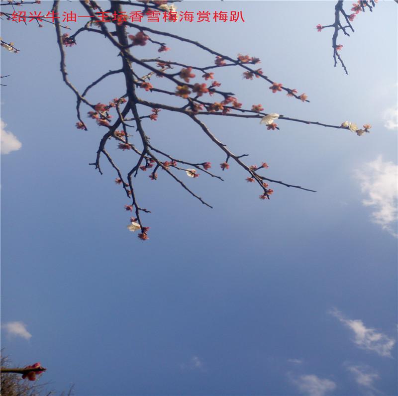 香雪梅海景区8.jpg